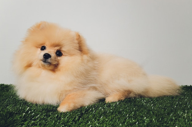 Portraite uroczego puszystego szczeniaka szpicu pomorskiego. mały uśmiechnięty pies na białym tle
