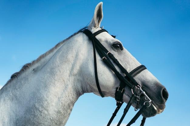 Portratit jeździecki biały koń, świat koni.
