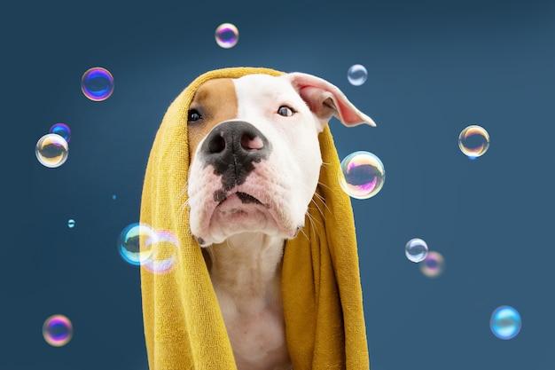 Portret american staffordshire pies gotowy do wzięcia prysznica owinięty żółtym ręcznikiem. zwierzę na niebieskiej powierzchni z bąbelkami sezon letni dla szczeniąt
