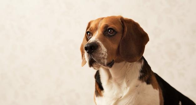 Portret amerykański beagle pies siedzi na łóżku psa, patrząc na bok