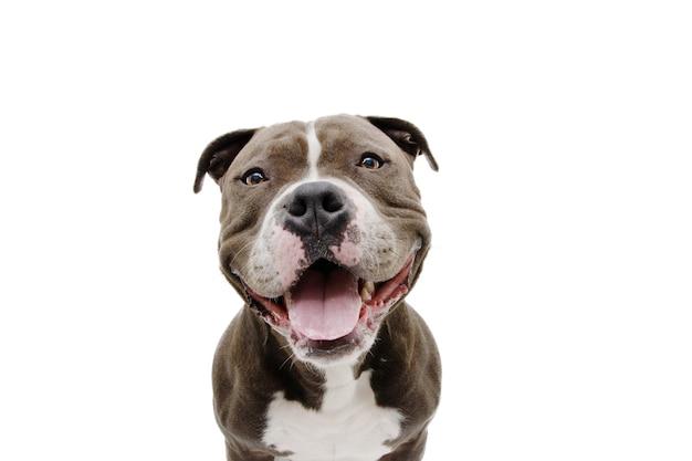 Portret amerykański bully pies z szczęśliwy wyraz. na białym tle na białej powierzchni.