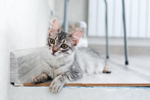 Portret amerykański kotek krótkowłosy w domu.