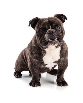 Portret amerykańskiego bully psa na białym tle