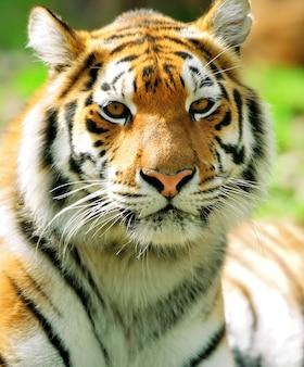 Portret amur tigers w letni dzień