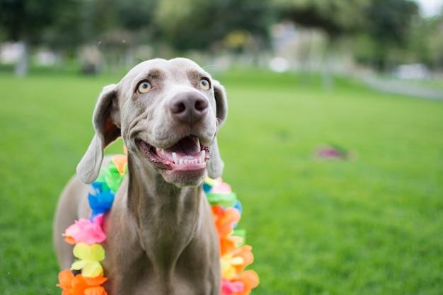 Portret bardzo szczęśliwego psa wyżeł weimarski, z kolorowym kwiatowym hawajskim kołnierzem na szyi, bawiącym się i bawiącym w parku.