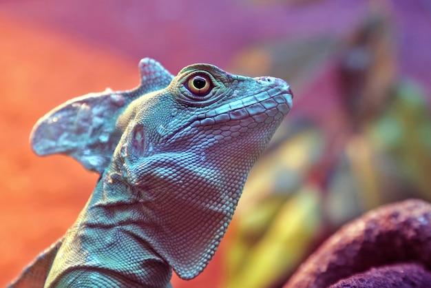 Portret basiliscus plumifrons zbliżenie. świat zwierząt