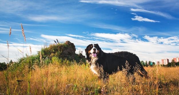 Portret berneńskiego psa pasterskiego stojącego na żółtym polu i odwracającego wzrok
