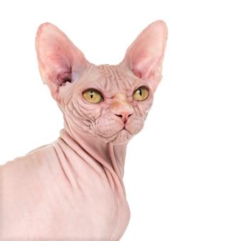 Portret bezwłosy kot sfinks na białym tle