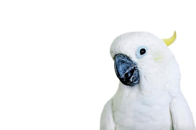 Portret biała kakadu papuga