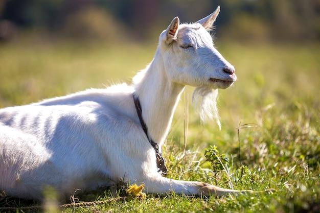 Portret biała koza z brodą na niewyraźne tło bokeh. hodowla koncepcji przydatnych zwierząt.