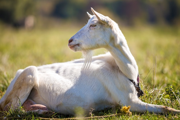 Portret biała kózka z brodą na zamazanym bokeh tle. hodowla użytecznych koncepcji zwierząt.
