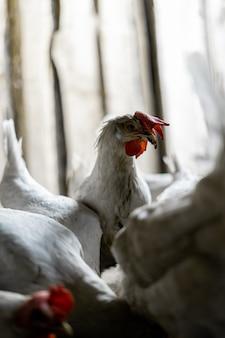 Portret białego kurczaka z czerwoną kępką. kurczak podniósł głowę nad stado swoich braci