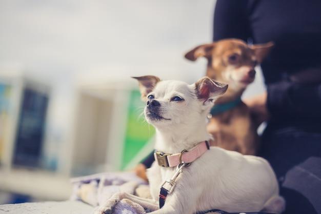 Portret białego psa chihuahua