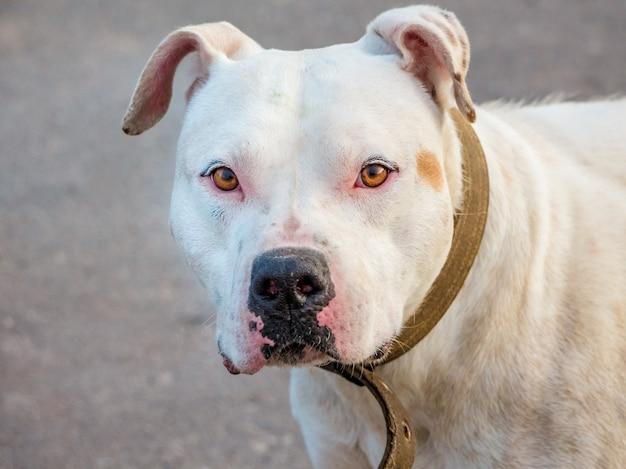 Portret białego psa trakenu pitbull zbliżenie na rozmytym tle