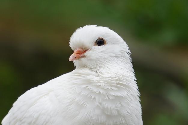 Portret białego puszystego gołębia z małym pomarańczowym dziobem