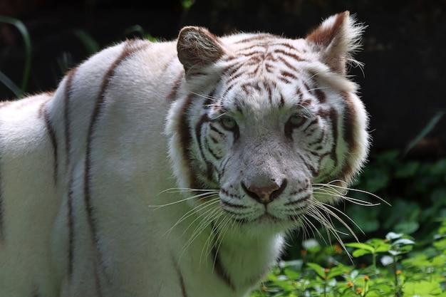 Portret białego tygrysa