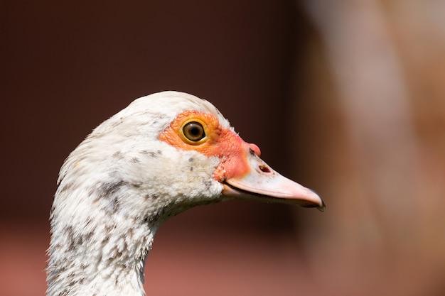 Portret białej kaczki
