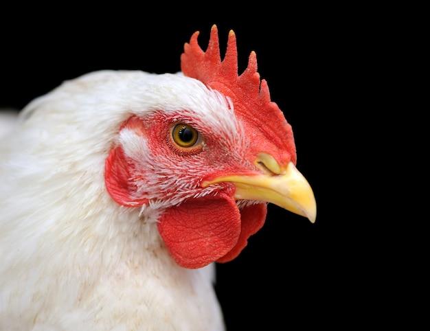 Portret biały kurczak na białym tle na ciemnym tle