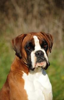 Portret boksera rasy psów