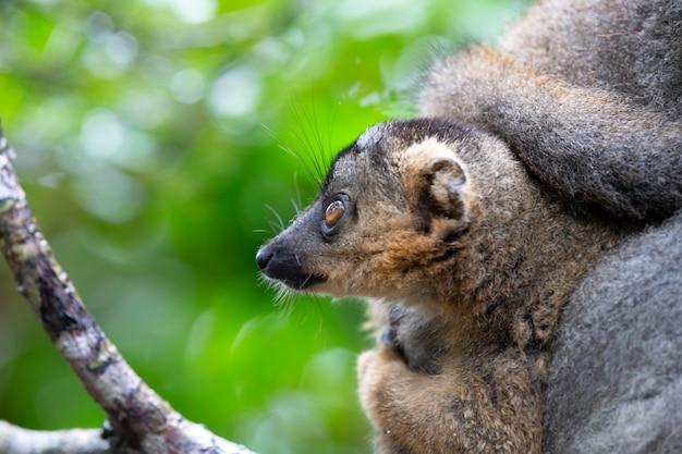 Portret brązowego lemura w lesie deszczowym madagaskaru