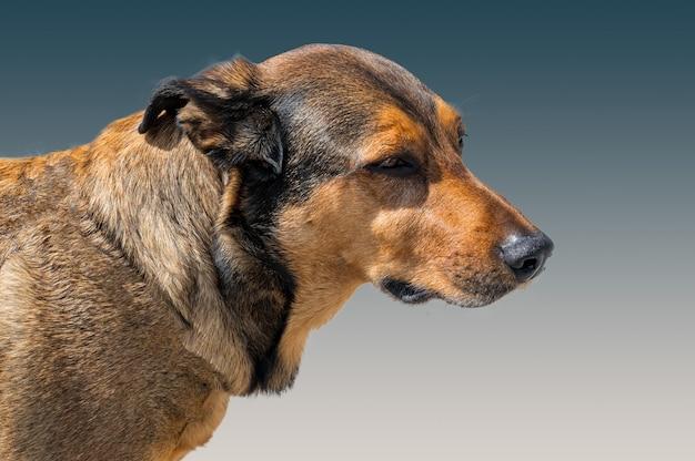 Portret brązowego psa na niebieskim tle rasy mieszanej