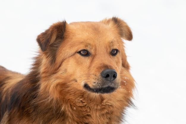 Portret brązowego psa z bliska w zimie na białym tle