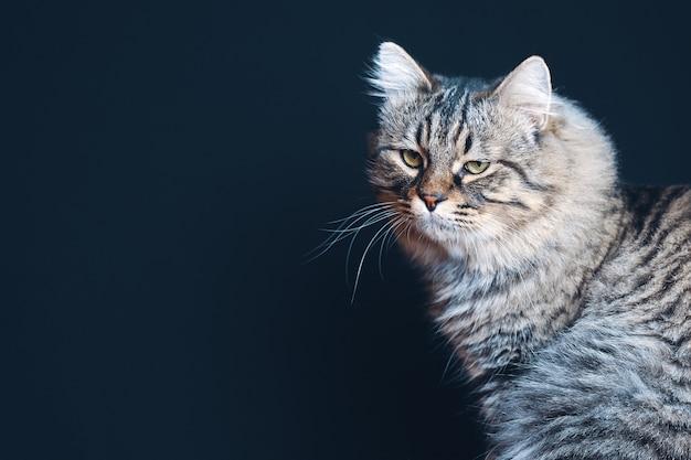 Portret brązowy puszysty kot w paski z uważnym spojrzeniem