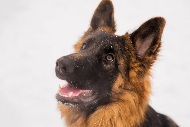 Portret brown baca na śnieżnym tle w parku. zwiedzanie rasowego psa