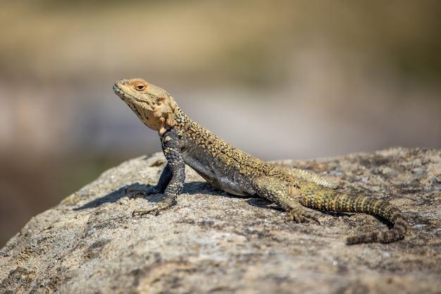 Portret brown jaszczurka na skale