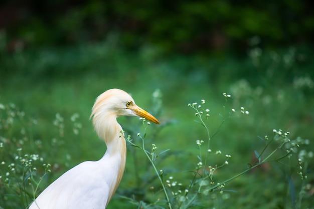 Portret bubulcus ibis lub czapli lub powszechnie znany jako czapla bydlęca w jej naturalnym środowisku