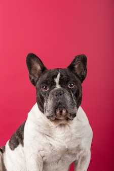 Portret buldoga francuskiego na czerwonej ścianie studio