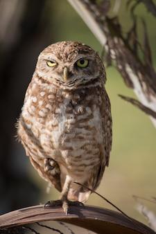 Portret burrowing owl w jej naturalnym środowisku.
