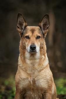 Portret charyzmatyczny czerwony pies mieszaniec siedzi na złożonym patrząc na kamery
