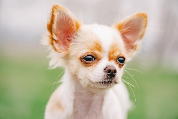 Portret chihuahua. portret biały szczeniak chihuahua długowłosy. chihuahua biały ładny portret