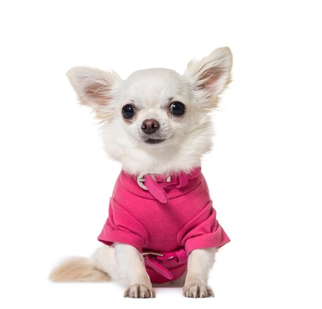 Portret chihuahua siedzi i ma na sobie różowy płaszcz psa