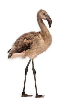 Portret chilijskiego flaminga phoenicopterus na białym tle