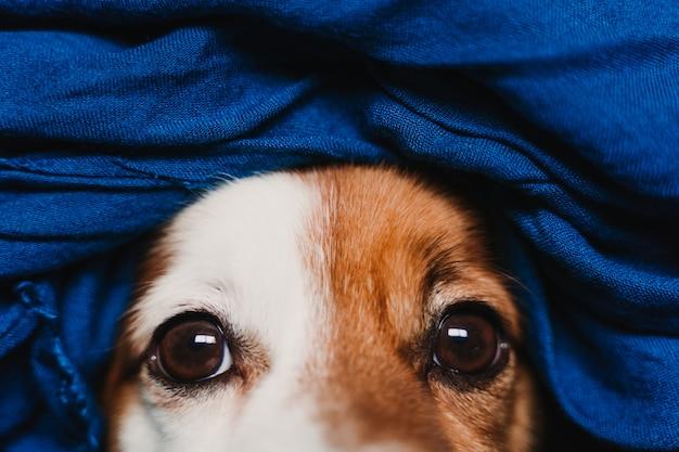 Portret cute jack russell zawinięty w niebieską chusteczkę