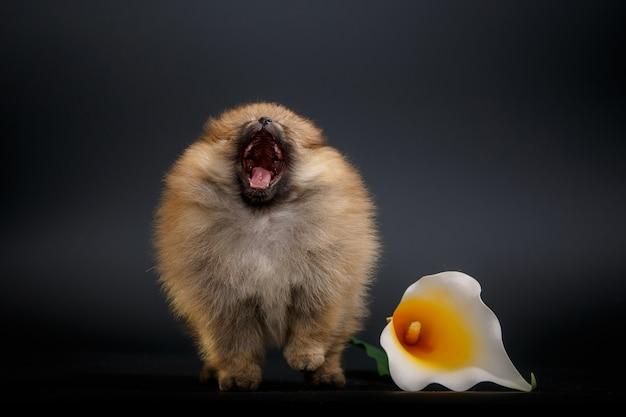 Portret cute puppy bliska, odizolowane