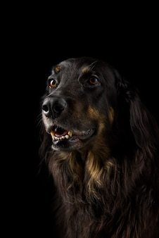 Portret czarnego hovawarta. czarny pies z bliska