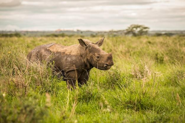 Portret czarnego nosorożca w masai mara