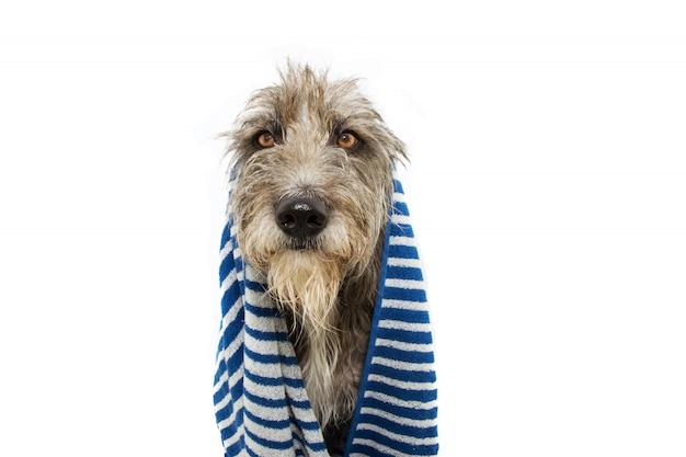 Portret czarnego psa owiniętego niebieskim ręcznikiem w paski, gotowym do kąpieli, kąpieli lub prysznica.