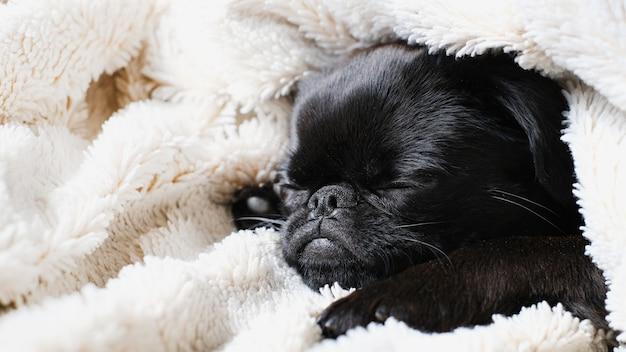Portret czarnego psa szczeniaka, brabancon z śmieszną buzią na tle biały koc. śpiący pies szczeniak