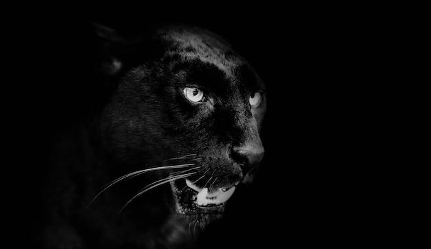Portret czarnej pantery. świat zwierząt