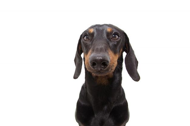 Portret czarny jamnik pies szczeniak.