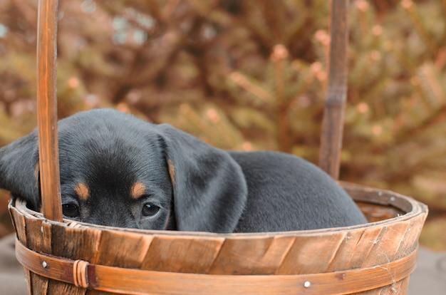 Portret czarny jamnik szczeniak