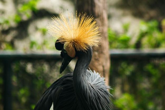 Portret czarny koronowany żuraw w zoo