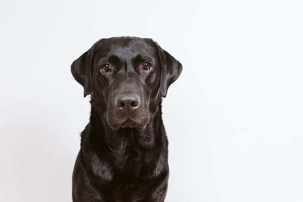 Portret czarny labrador w domu