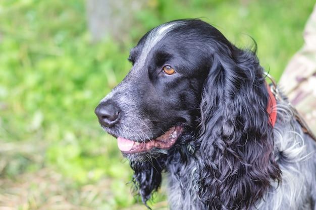 Portret czarny pies rasy cocker spaniel z bliska w profile_