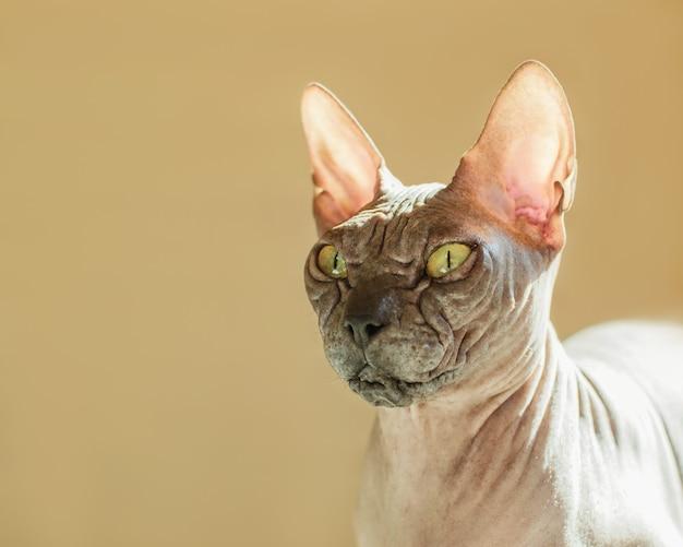 Portret czarującego nagiego czarnego kota.