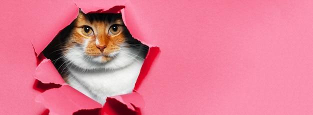 Portret czerwonego białego kota przez rozdarty papierowy otwór na pastelowy róż